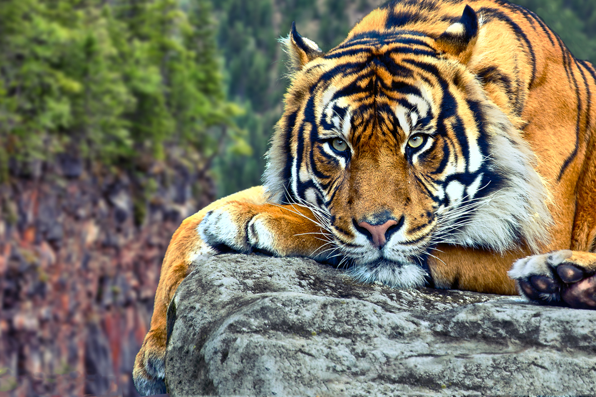 Tiger Wallpapers Backgrounds Images 1920x1080  Best