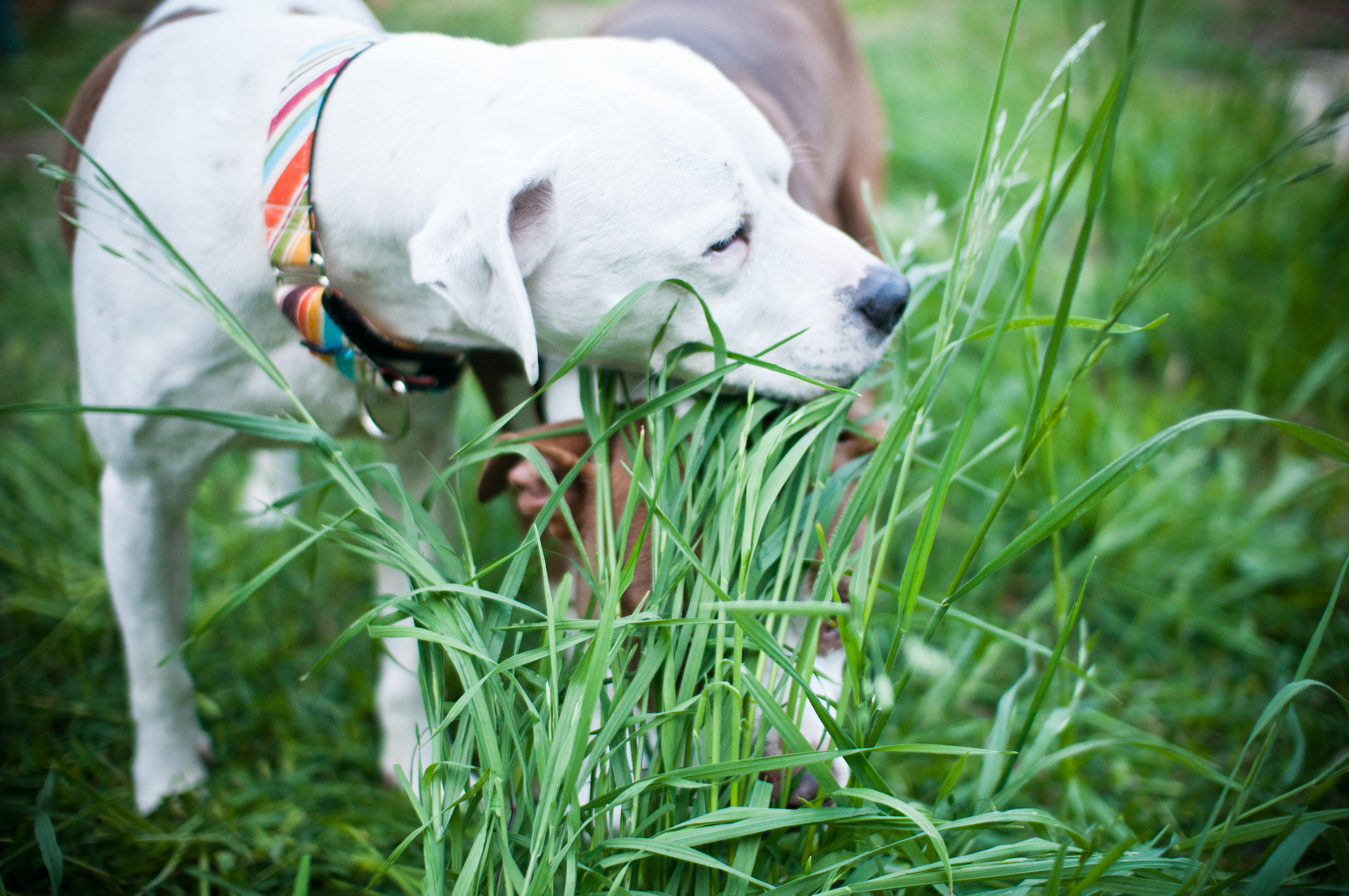 dog eating grass - HD1204×800