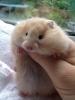 hamster beslemek