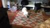evin içinde kediye fare yakalatan ev halkı