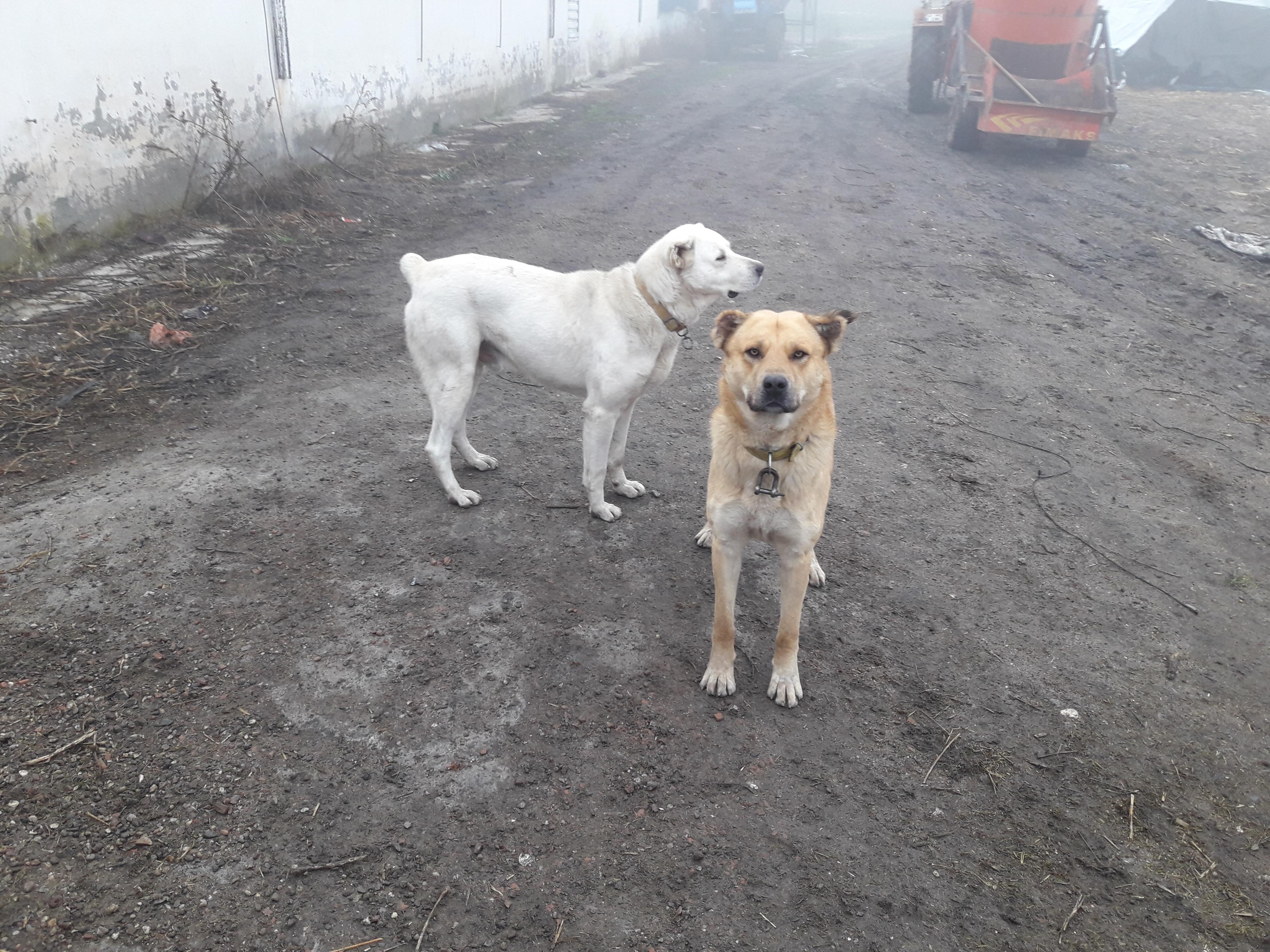 kurtu boğabilecek bir köpeğin olmaması