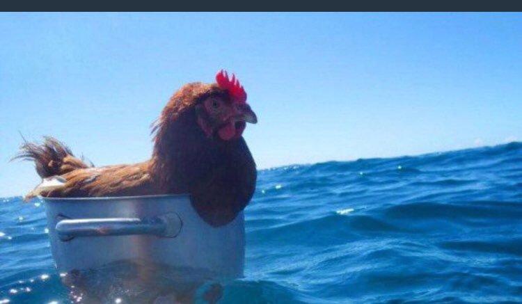 yumurtlamaktan sıkılıp tatile çıkan tavuk