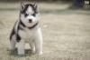 yavru husky satan pet shop bulamamak