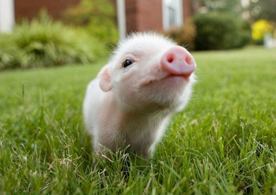 cute ferrets and pigs