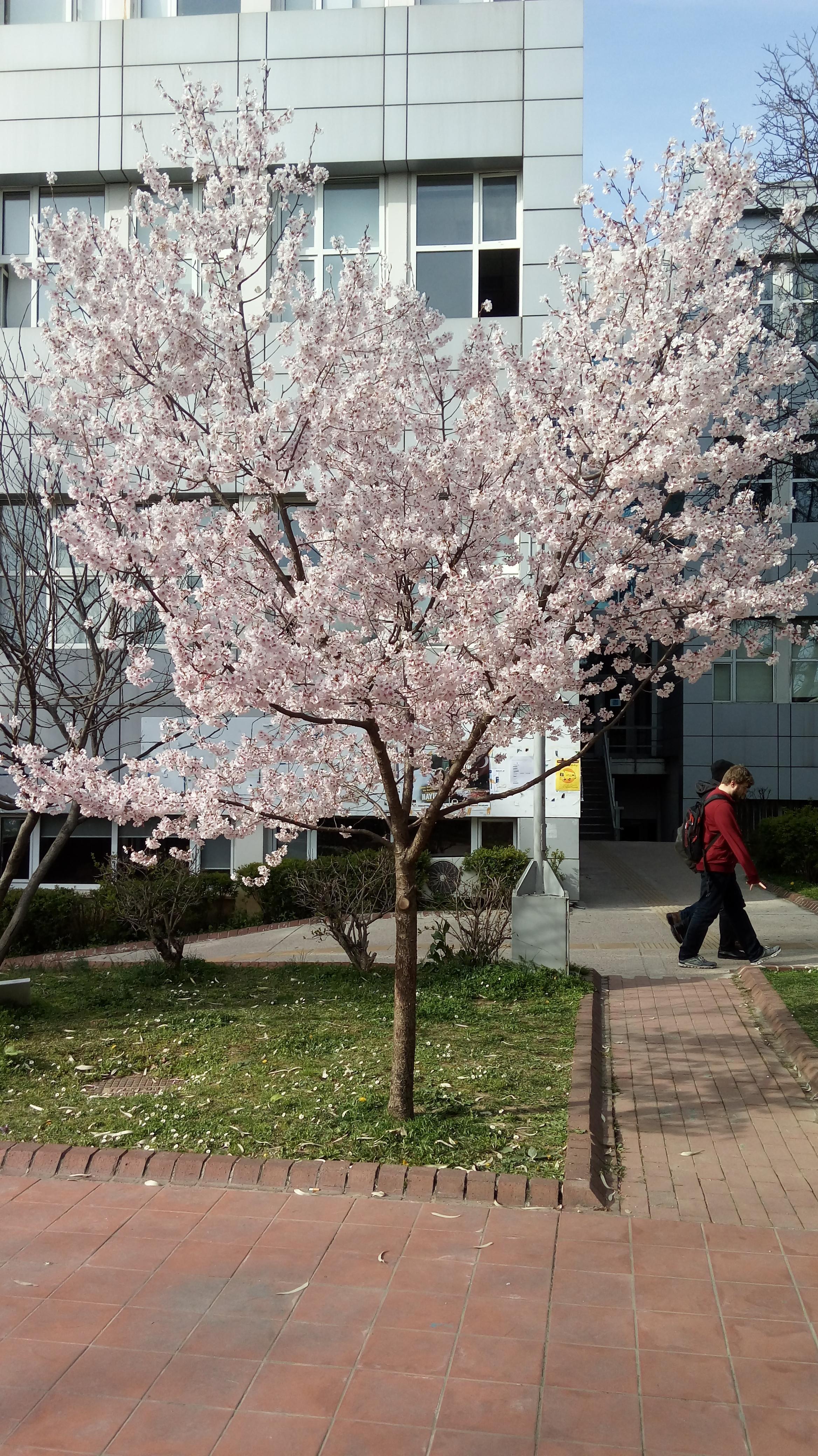 Baharda çiçek Açan Ağaçlar Uludağ Sözlük