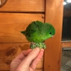 brokoli kuşu