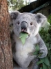 koala osuruğu