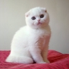 en sevimli kedi cinsi