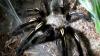 evde tarantula beslemek