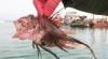 aslan balığı zehrinin cinsel problemlere faydası