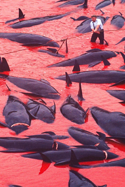 danimarka faroe adaları balina katliamı #1725650 - uludağ sözlük galeri