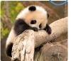 gecenin pandası