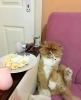 kedi peri