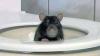tuvalet deliğinden çıkıp testisleri ısıran fare