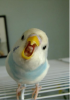 muhabbet kuşlarının hepiniz malsınız amk bakışı