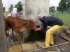 hindistan da inek olmak