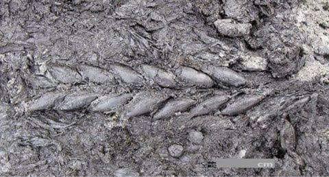8000 yıl önce istanbul da ekilen buğday başağı