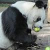 panda ayı mıdır