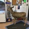 colorado da markete giren dişi geyik