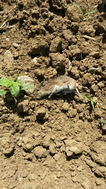 tarlada bulduğum ölü fare